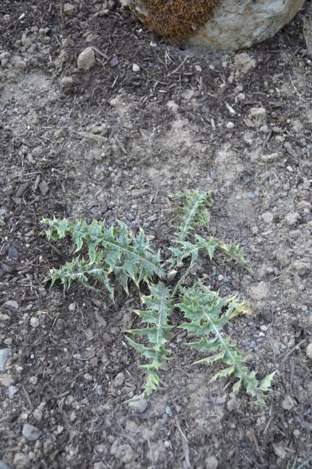 Acanthus syriacus