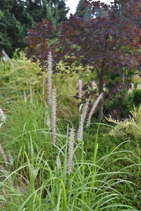 Pennisetum 'Tall Tails'