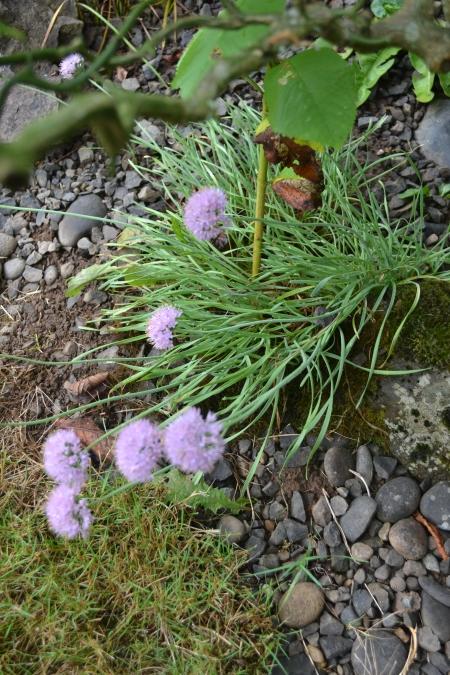 Allium  senescens 'Glaucum'