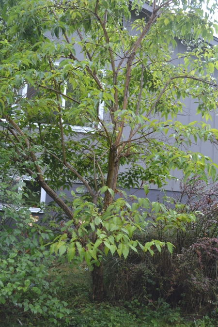 Heptacodium micionoides