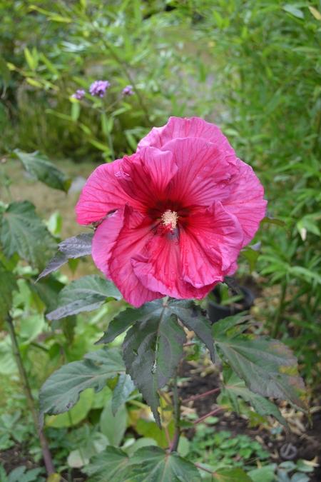 Hibiscus m. 'Plum Crazy'