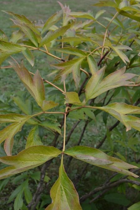 tree peony foliage