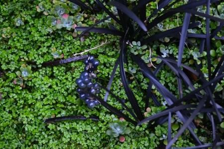 Ophiopogon planiscapes 'Nigrescens'
