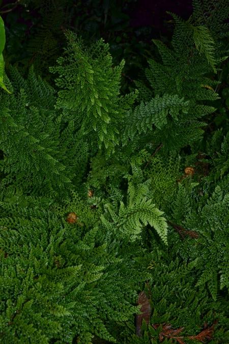 Polystichum setiferum 'Pumoso multilobum'