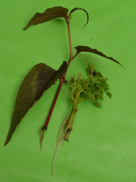 Persicaria 'Purple Shield' roots
