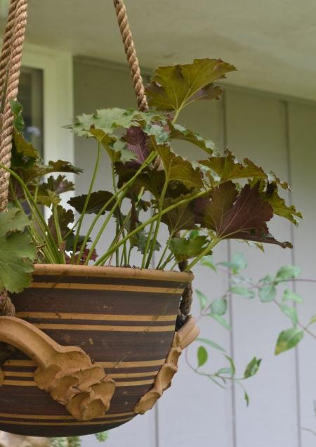 'Sashay' in hanging pot