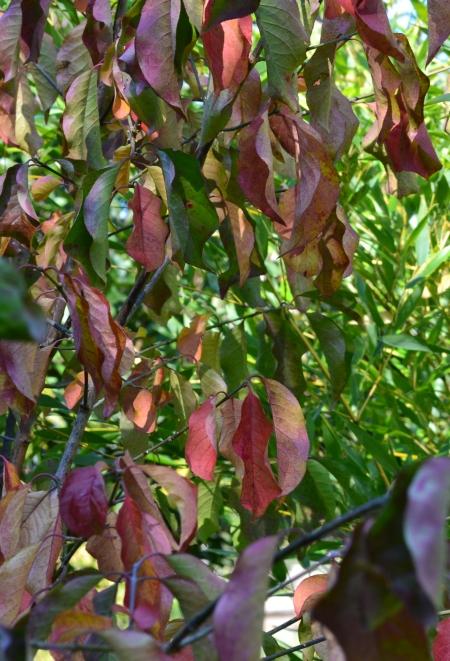 Euonymus sachalinensis