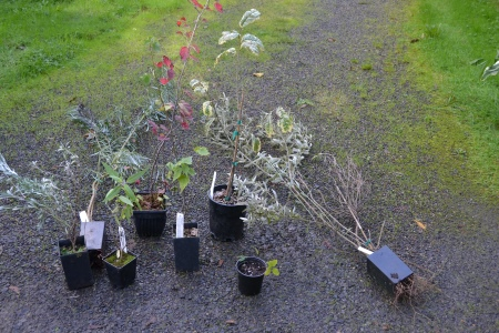 Cistus 'Tough Love' haul