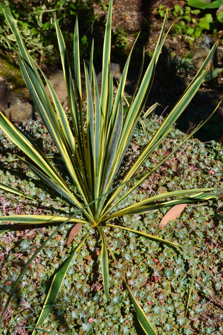 Yucca 'Bright Edge'