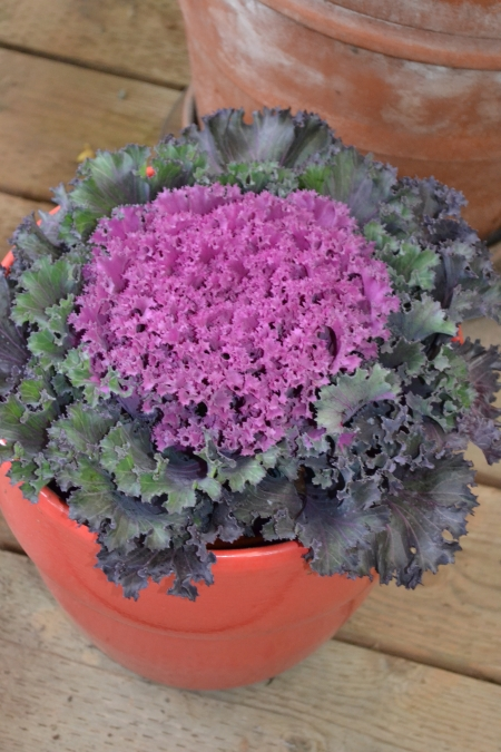 kale in red pot