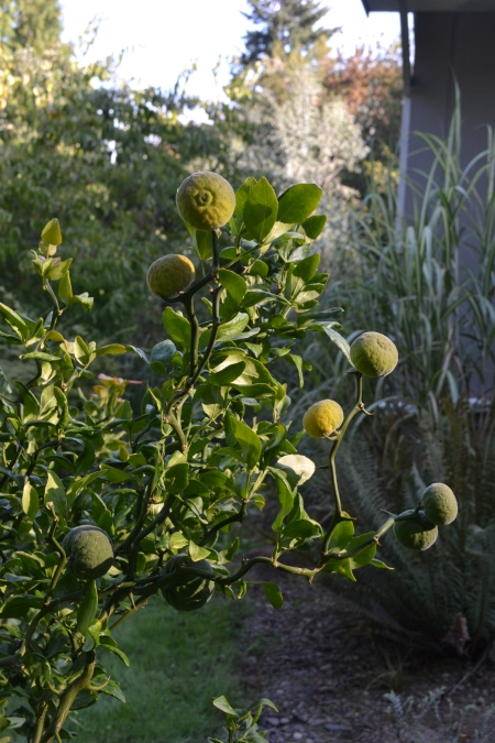 Poncirus trifoliata 'Flying Dragon' with fruit