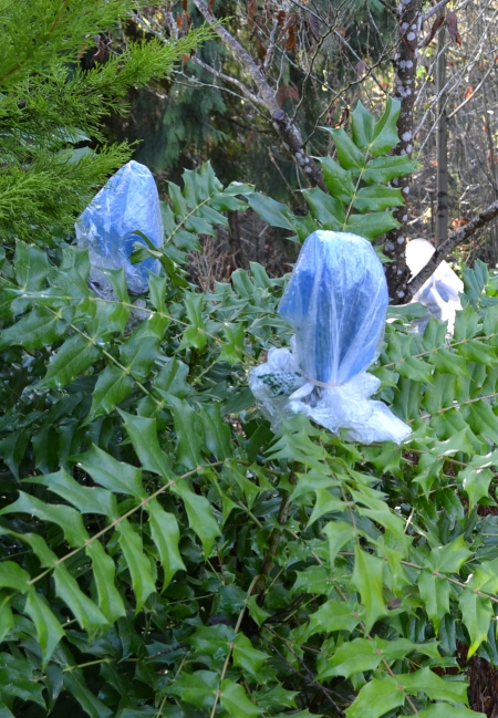 Mahonia 'Arthur Menzies' buds wrapped