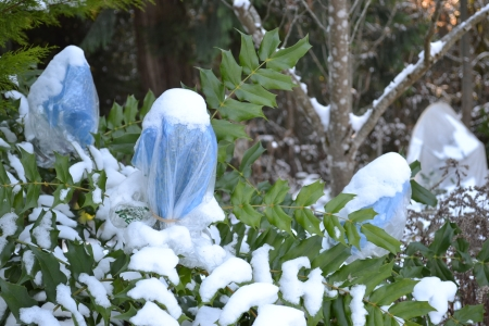 Mahonia 'Arthur Menzies' buds wrapped with snow