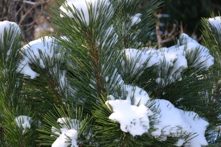 'Thunderhead' pine