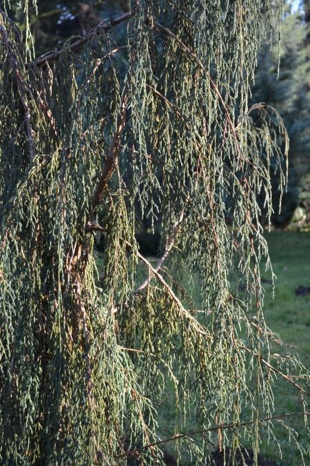 J. recurva butanica branches
