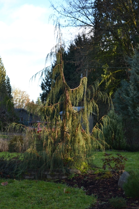 Juniperus recurva butanica