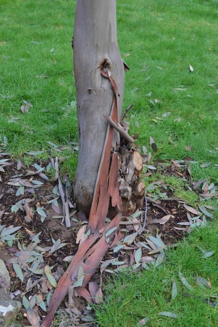 Eucalyptus pauciflora ssp niphophila