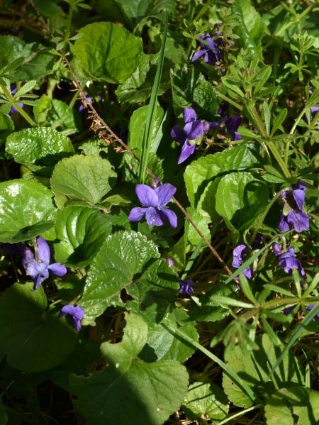 viola odorata, purple