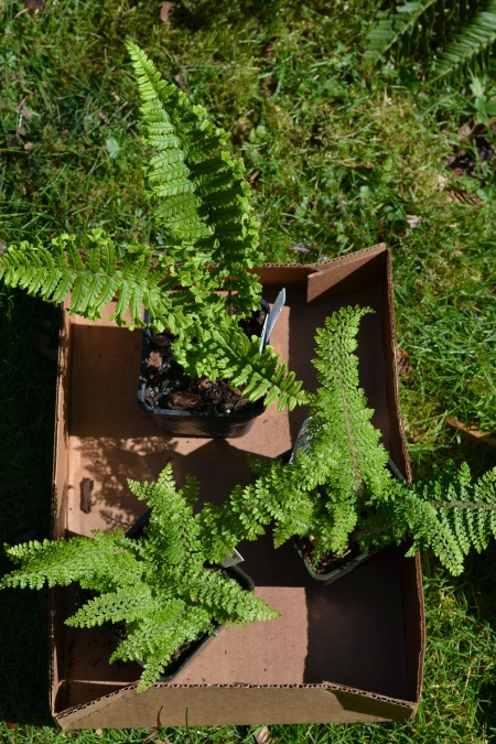 Dryopteris a cristata 'The King' and two Polystichum setiferum