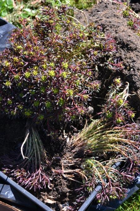 Euphorbia 'Fen's Ruby'