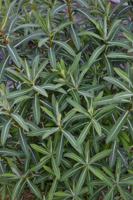 Euphorbia 'Excaliber'