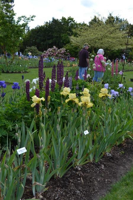 iris with companion plants