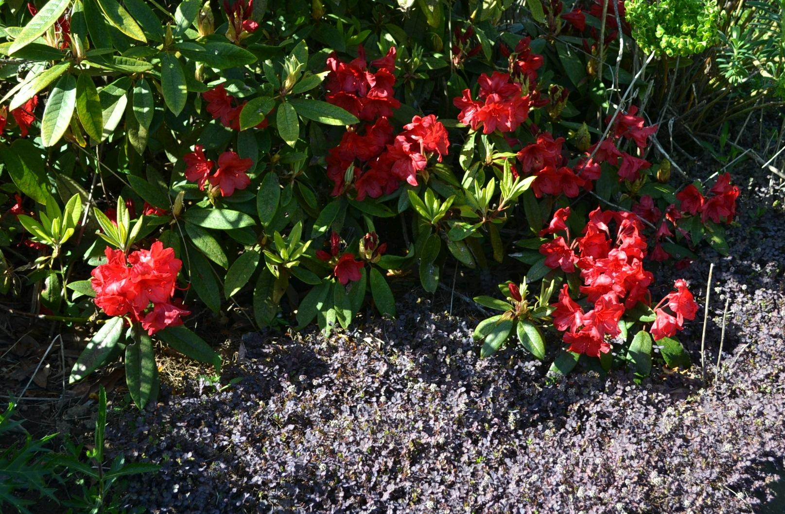 red Rhody with Acaena inermis 'Purpurea'