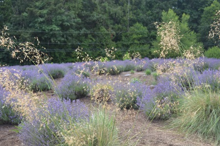 lavender at Westwind
