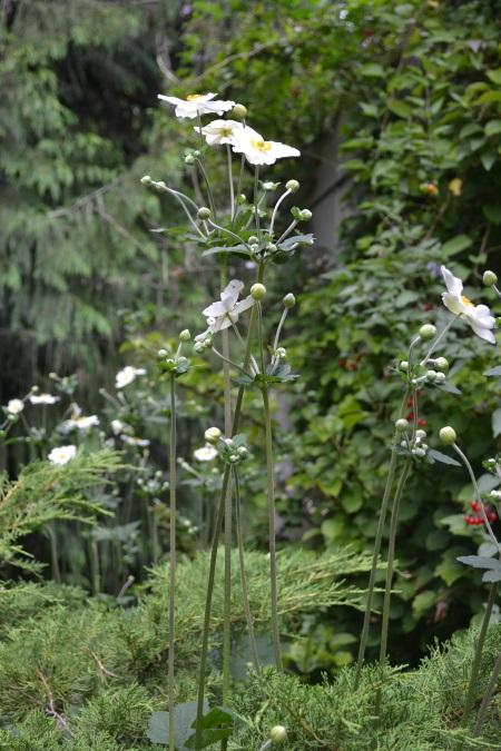 Anemone 'Honorine de Jobert'