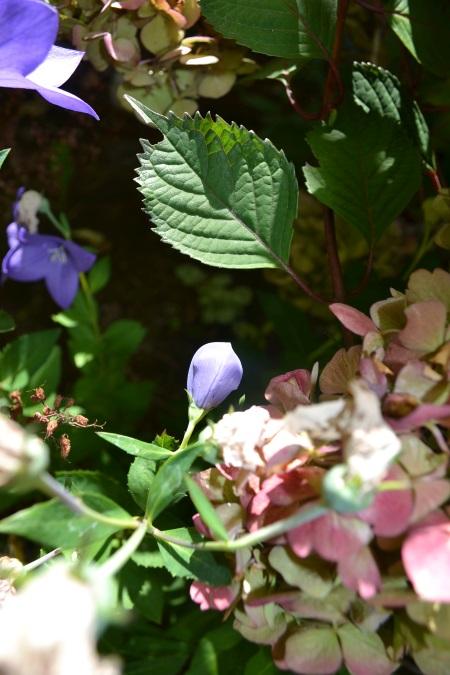 Platycodon and Hydrangea 'Preziosa'