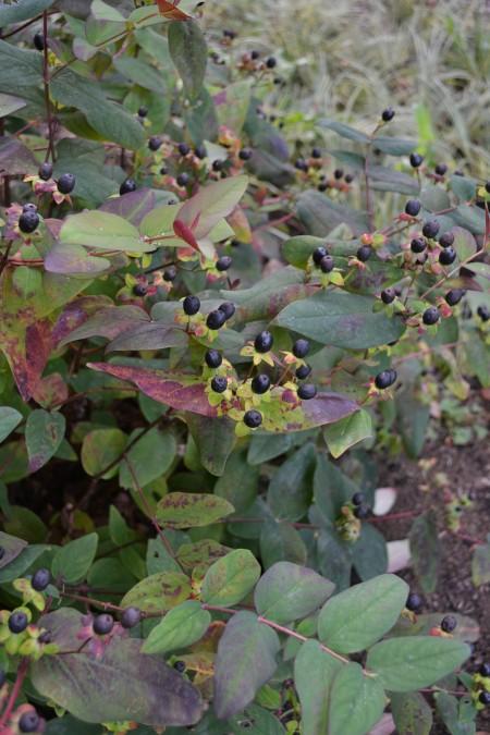Hypericum inodorum 'Asbury Purple'