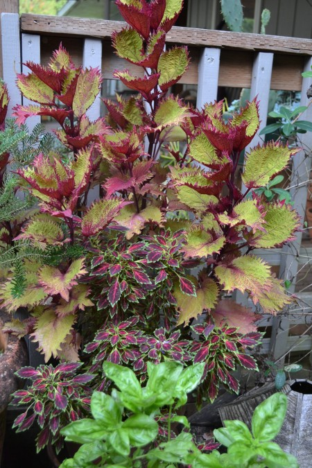 coleus Aurora Black Cherry