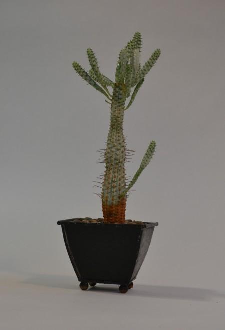 Euphorbia mamilaris 'variegata'