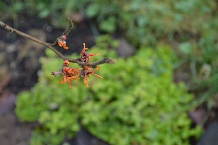 Hamamelis 'Early Bright'