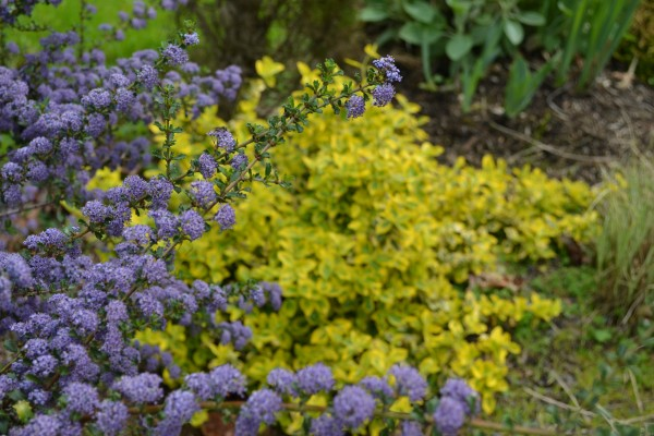 Ceanothus 'Blue Jeans' & Euonymus 'Emerald 'N' Gold'