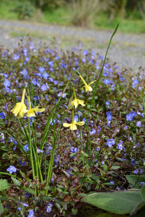 Veronica peduncularis 'Georgia Blue' & Narcissus hawera