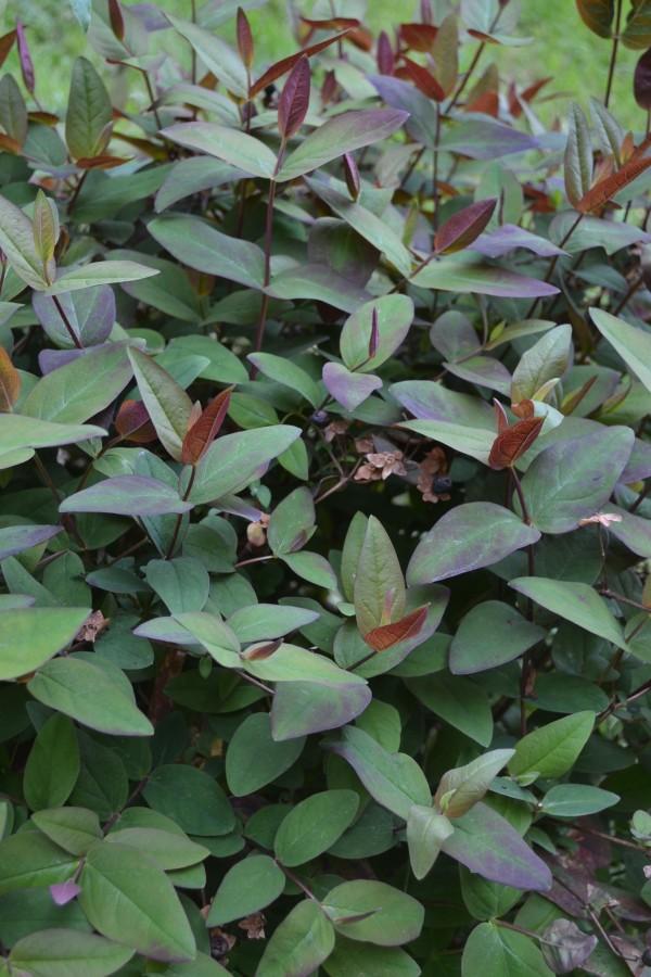 Hypericum inodorum</em> 'Asbury Purple