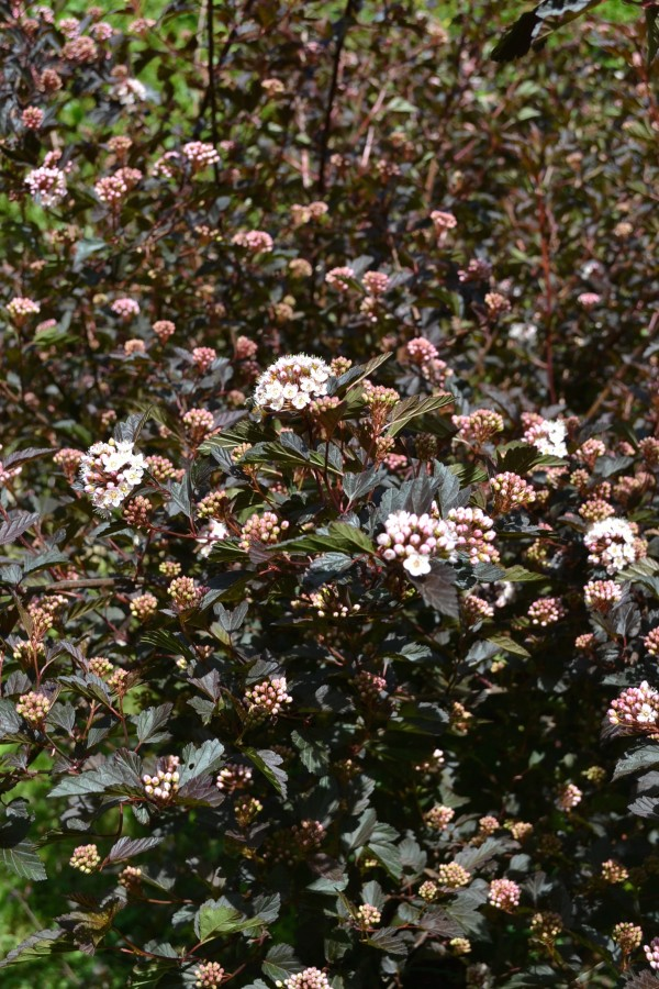 Physocarpus 'Diablo'
