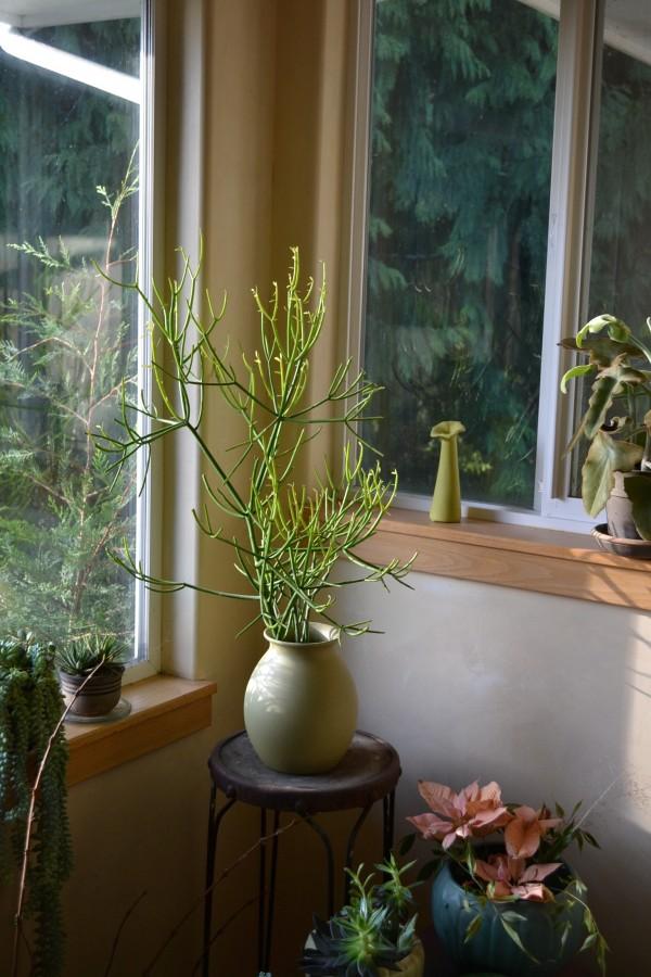 Euphorbia 'Sticks of Fire'
