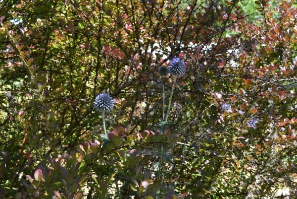 Echinops banaticus 'Blue Glow'