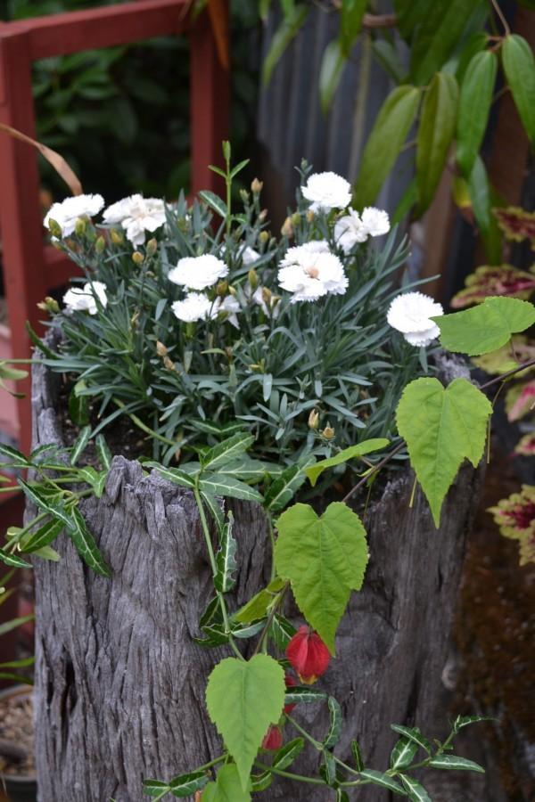 Dianthus gratiannopolitanus