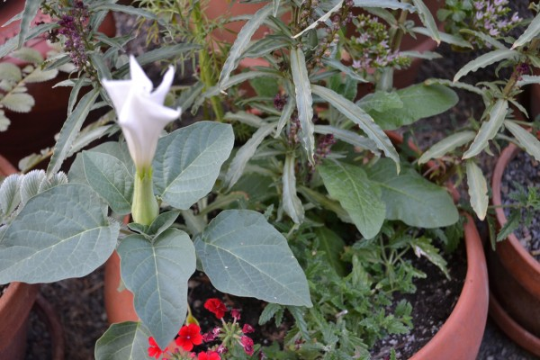 Datura from seed