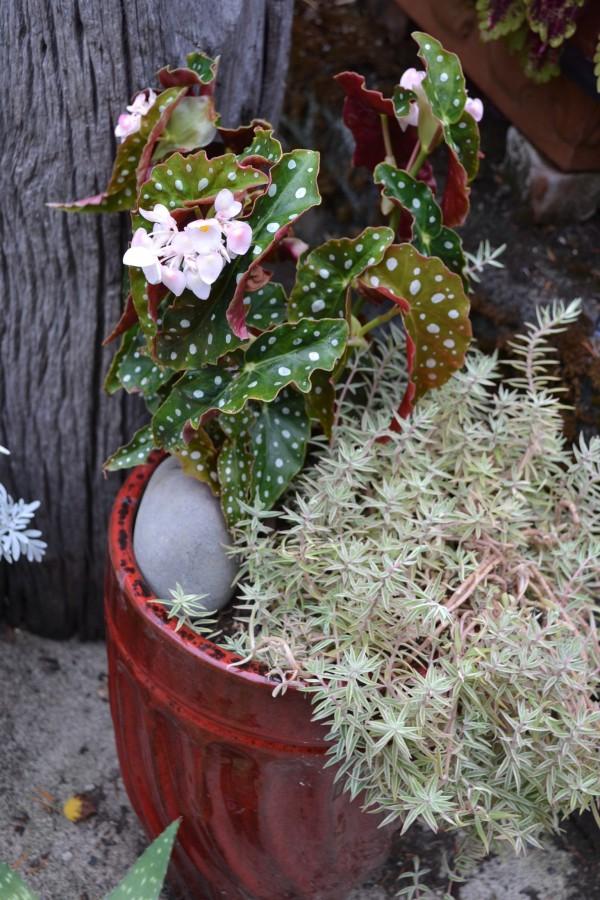 Begonia 'Polka Dot'