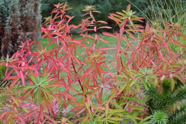 Euphorbia 'Fire Charm'
