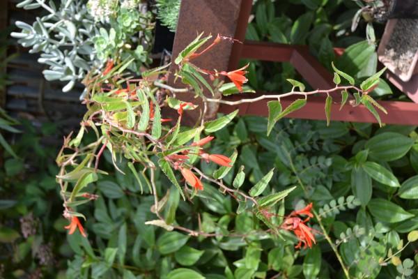 Begonia boliviensis 'Bonfire Orange'