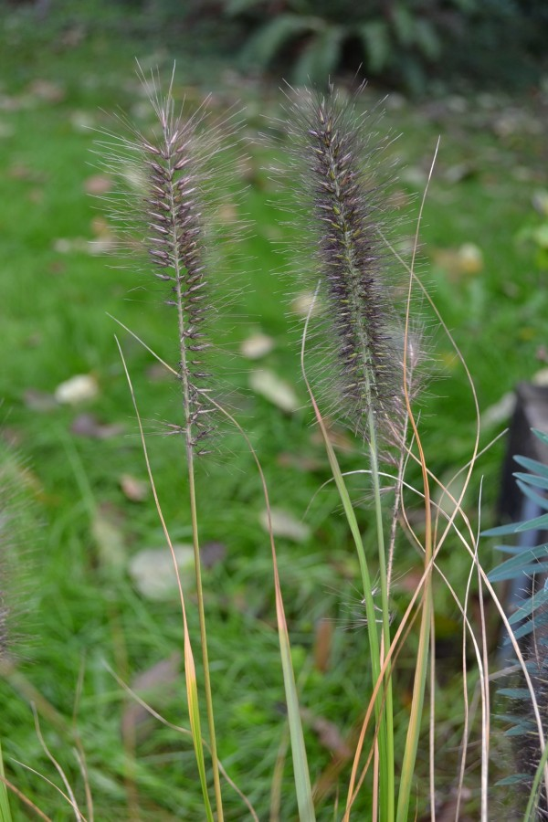 Pennisetum a. 'Red Head'