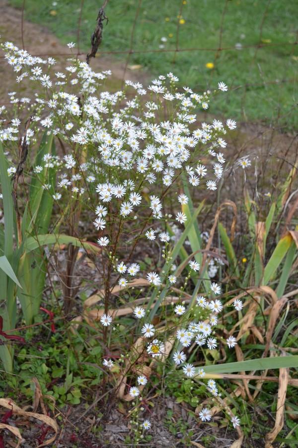 Symphytotrichum 'Monte Casino White'