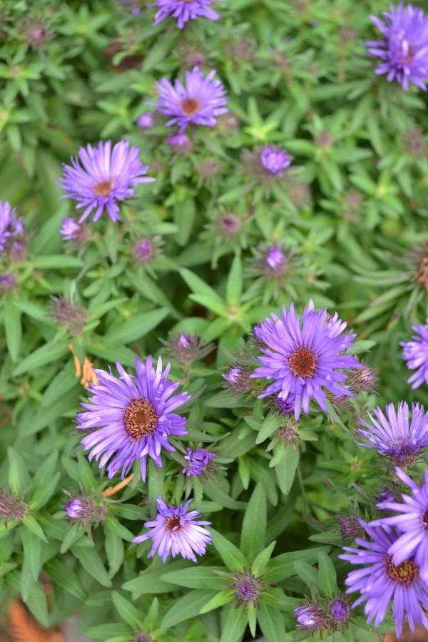 Symphytotrichum novae angliae 'Purple Dome'