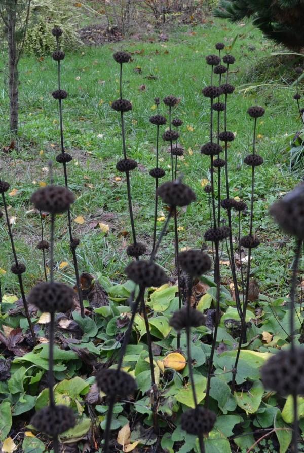 Phlomus russeliana
