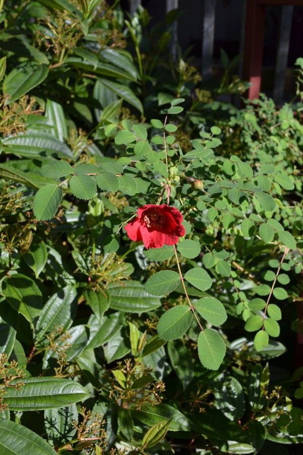 Rosa moysoii geranium